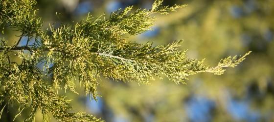 evergreen-tree.