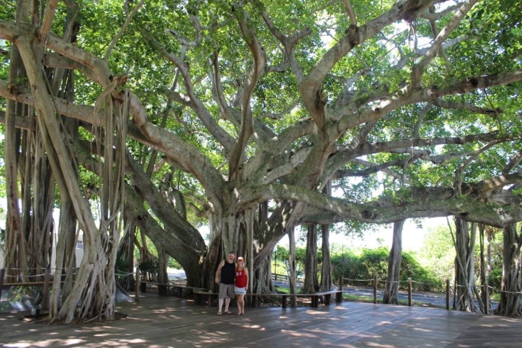 Jupiter Lighthouse ficus Tree